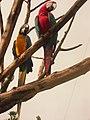 Parrot (Ara macao)-Canaima-Venezuela05.JPG