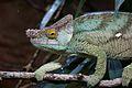 Parson's Chameleon in Chester Zoo 2.jpg