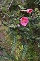 Passiflora mixta flowers and leaves.jpg