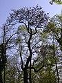 Paulownia tomentosa5.jpg