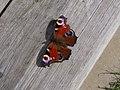 Peacock (Inachis io) (8094945267).jpg