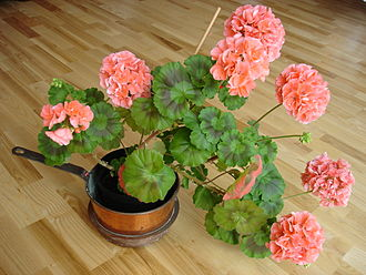 Pelargonium - One of hundreds of garden and houseplant cultivars