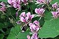 Pelargonium cordifolium 6zz.jpg