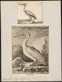 Pelecanus onocrotalus - 1700-1880 - Print - Iconographia Zoologica - Special Collections University of Amsterdam - UBA01 IZ18000155.tif