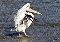 Pelecanus onocrotalus - Great White Pelican 03.jpg