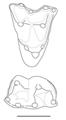 Peradectes molars.png