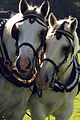 Percherons attelés mondial du cheval percheron 2011Cl J Weber30 (24057381286).jpg