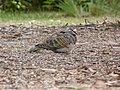 Phaps chalcoptera -Merimbula, New South Wales, Australia-8 (2).jpg