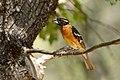 Pheucticus melanocephalus -California, USA-8.jpg