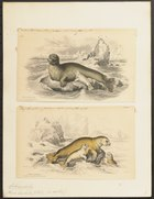 Phoca barbata - 1700-1880 - Print - Iconographia Zoologica - Special Collections University of Amsterdam - UBA01 IZ21100223.tif
