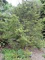 Phyllocladus alpinus 2.JPG