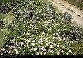 Picking rose to make Golab in Fars 14.jpg