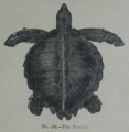 Picture Natural History - No 180 - The Turtle.png