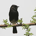 Pied Bushchat (Saxicola caprata)- Male at Sultanpur I Picture 182.jpg