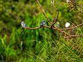 Pied kingfisher@ranganthittu.jpg