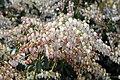 Pieris japonica Dorothy Wyckoff 3zz.jpg
