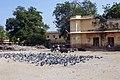 Pigeons à Jaipur (3).jpg