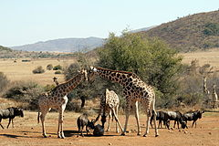 Giraffe and wildebeest at an artificial salt lick