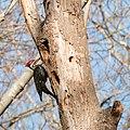 Pileated Woodpecker -17 100- (33986181915).jpg
