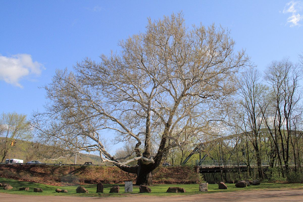 https://upload.wikimedia.org/wikipedia/commons/thumb/0/01/Pinchot_Sycamore%2C_April_29%2C_2008.jpg/1200px-Pinchot_Sycamore%2C_April_29%2C_2008.jpg