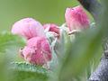 Pink buds (13747045584).jpg