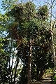 Pino brasil o Pino misionero (Araucaria angustifolia) (14405948671).jpg