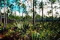 Pinus elliottii densa USFWS.jpg