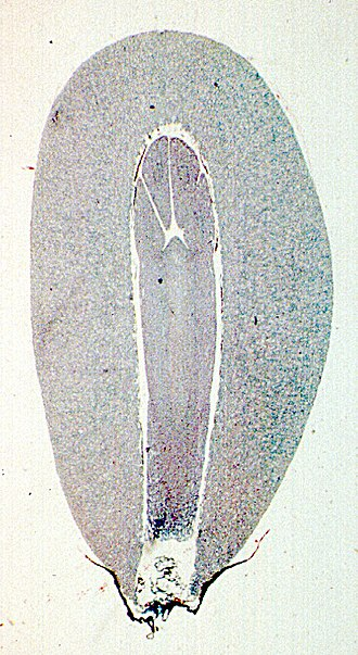 Gametophyte - Pine gametophyte (outside) surrounding the embryo (inside)