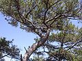 Pinus nigra salzmannii fg03.jpg