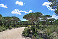 Pinus pinea Doñana 1.jpg