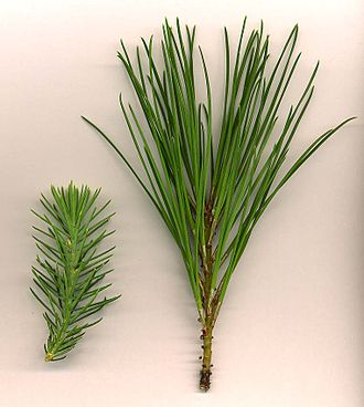 Juvenile (organism) - Juvenile (left) and adult (right) leaves of Stone Pine