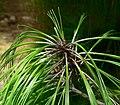Pinus pseudostrobus var apulcensis 4.jpg