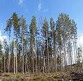 Pinus sylvestris in Finland.jpg
