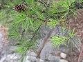 Pinus virginiana.jpg