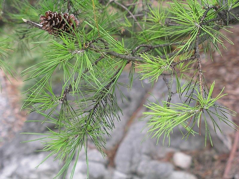 File:Pinus virginiana.jpg
