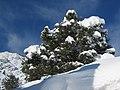 Pinyon snowSilh.jpg