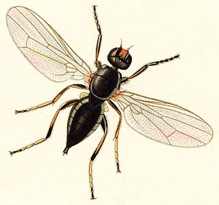 Piophilidae family of insects