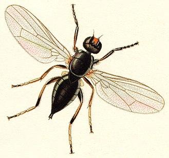 Cheese fly - Piophila casei
