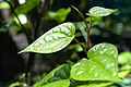 Piper betle plant leaves.jpg