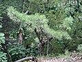 Pitch Pine at Pinnacle Rock 8.jpg