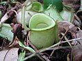 "Pitcher Plant - Nepenthes - ""Monkey Cup"" (1281203709).jpg"