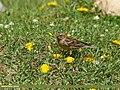 Plain Mountain Finch (Leucosticte nemoricola) (30556205212).jpg