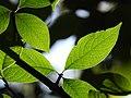 Plant Leaf Venation DSCN9018 29.jpg