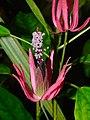 Plant Pavonia X gledhillii P1110573 02.jpg