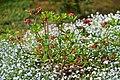 Plants kornik arboretum plants.jpg