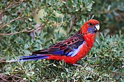 A red parrot with a violet chin with white speckles, navy blue wings with red-tipped feathers, blue-tipped wings, and a blue tail
