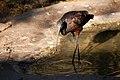 Plegadis chihi -Phoenix Zoo, Arizona, USA-8a.jpg