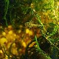 Pleurodeles larves 2.jpg
