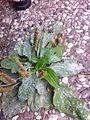 Podosphaera plantaginis.JPG