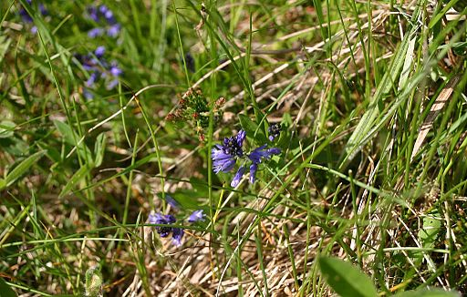 Polygala-serpyllifolia-flowers